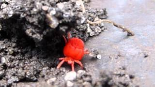 Red Velvet mite - Red earth mite - Arachnids - Roðamaur -  Skordýr - Túnamítill