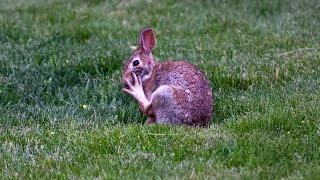 Rabbit cleaning foot - notice foot