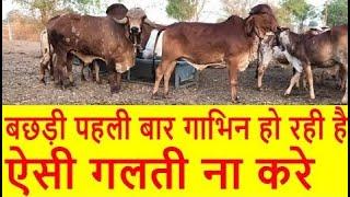 Gir Bull Breeding Gir Cow First Time | पहली बार गीर बछड़ी गीर नंदी से कैसे गाभिन होती है