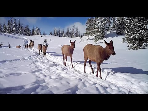 On the Elk Trail - Full Series | Amazing Yellowstone Migrations