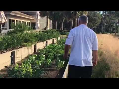 Sea Pines Country Club - Chef Harvests Fresh Kale from our Marsh Side Garden