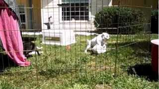 7 Week Old Staffordshire Bull Terrier Puppies Playing