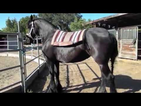 Friesian Ster Mare for Sale Berber Video 7:2015