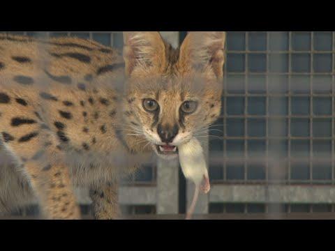 'Een serval in huis houden is levensgevaarlijk'