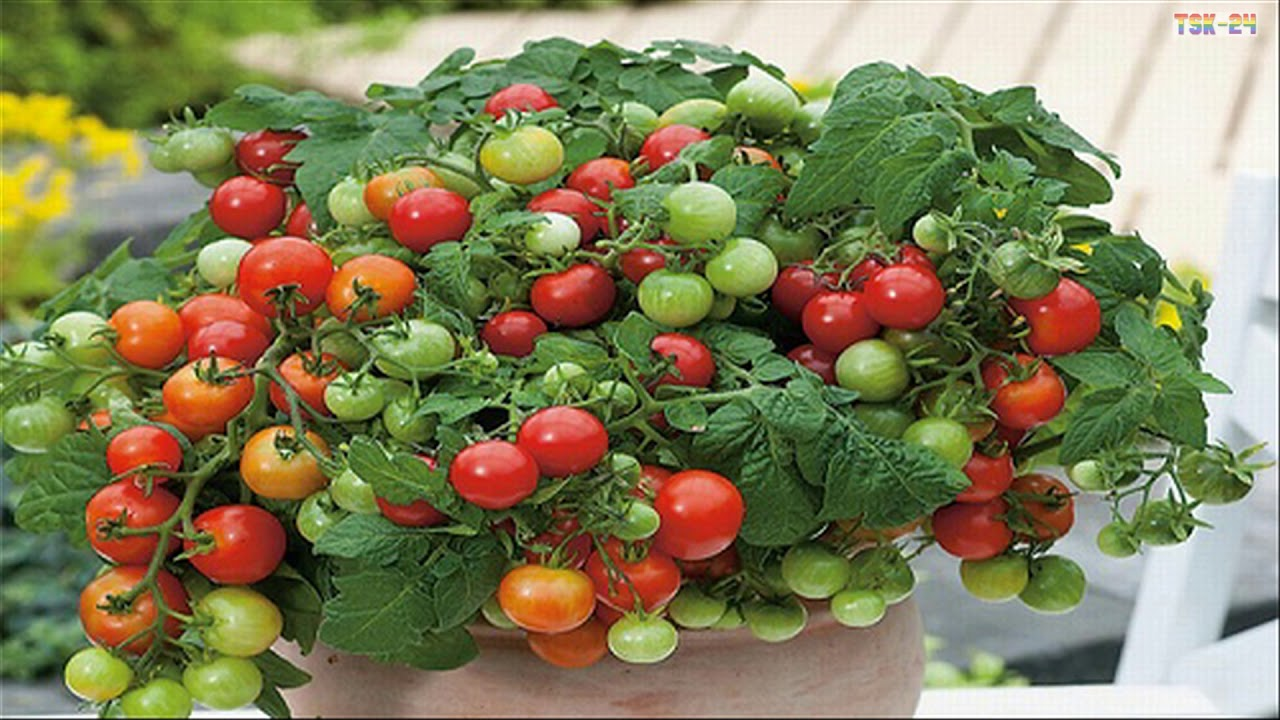 How To Grow Tomatoes At Home Growing Tomatoes In Containers