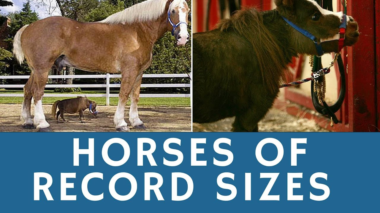 Horses of RECORD sizes: world's tallest & smallest (cutest ...