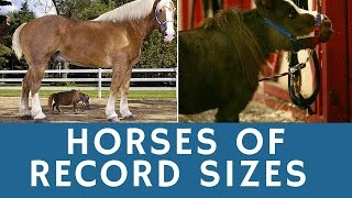 Horses of RECORD sizes: world's tallest & smallest (cutest) horse