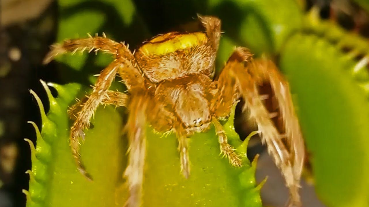 Awful Yellow Tarantula Vs Venus Flytrap
