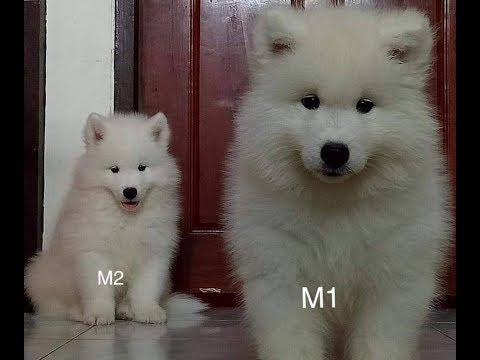 Perfect Pedigree Thailand&39;s Samoyed puppies for sale