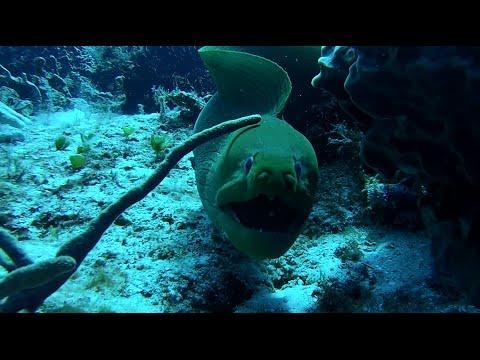 Moray Eel Eats TWO Splendid Toadfish!