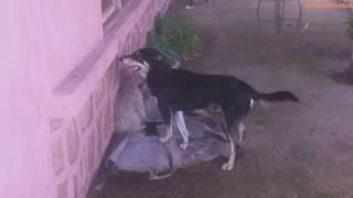 accouplement des animaux; chiens part1.0