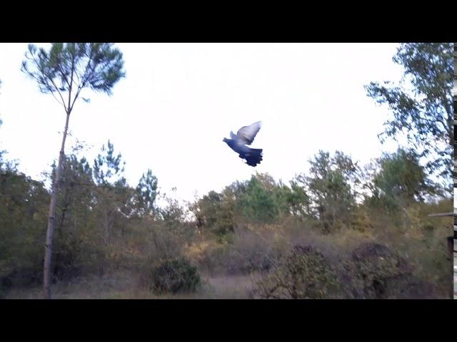 palombe.org - Finalisation dressage pigeons voltigeurs