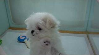 Teacup Sized Maltese Puppy Bree