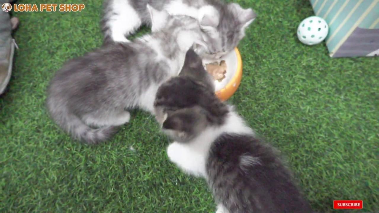Tiny Munchkin Mèo con lần đầu tập ăn