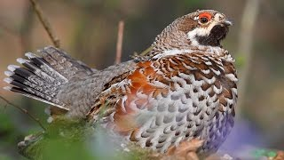 Рябчик / Hazel Grouse