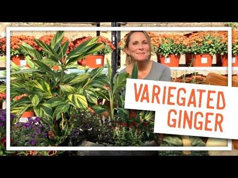 Plant Spotlight: Variegated Ginger
