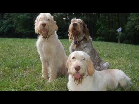 Spinone Italiano - medium sized dog breed