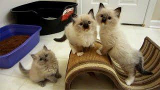 Ragdoll Kittens Playtime