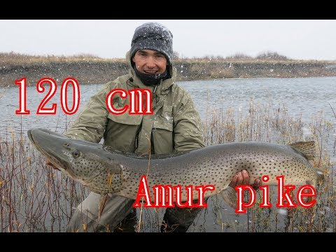 Mongolia 2018 - Amur Pike 120 Cm, Khalkhyn River Fishing Expedition