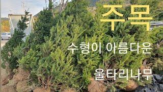 수형이 아름다운 나무  주목  - 신라조경농원