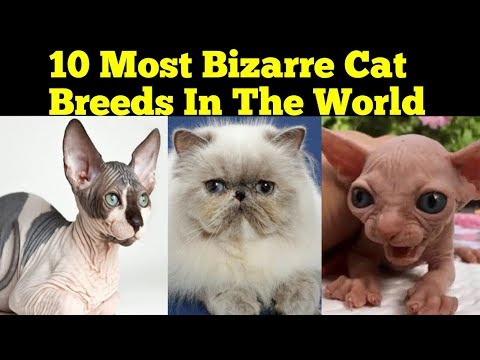 Top 10 Most Bizarre Cat Breeds in The World 2018 || Most EXPENSIVE Cat Breeds