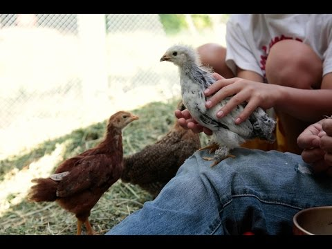 Backyard Chickens 101
