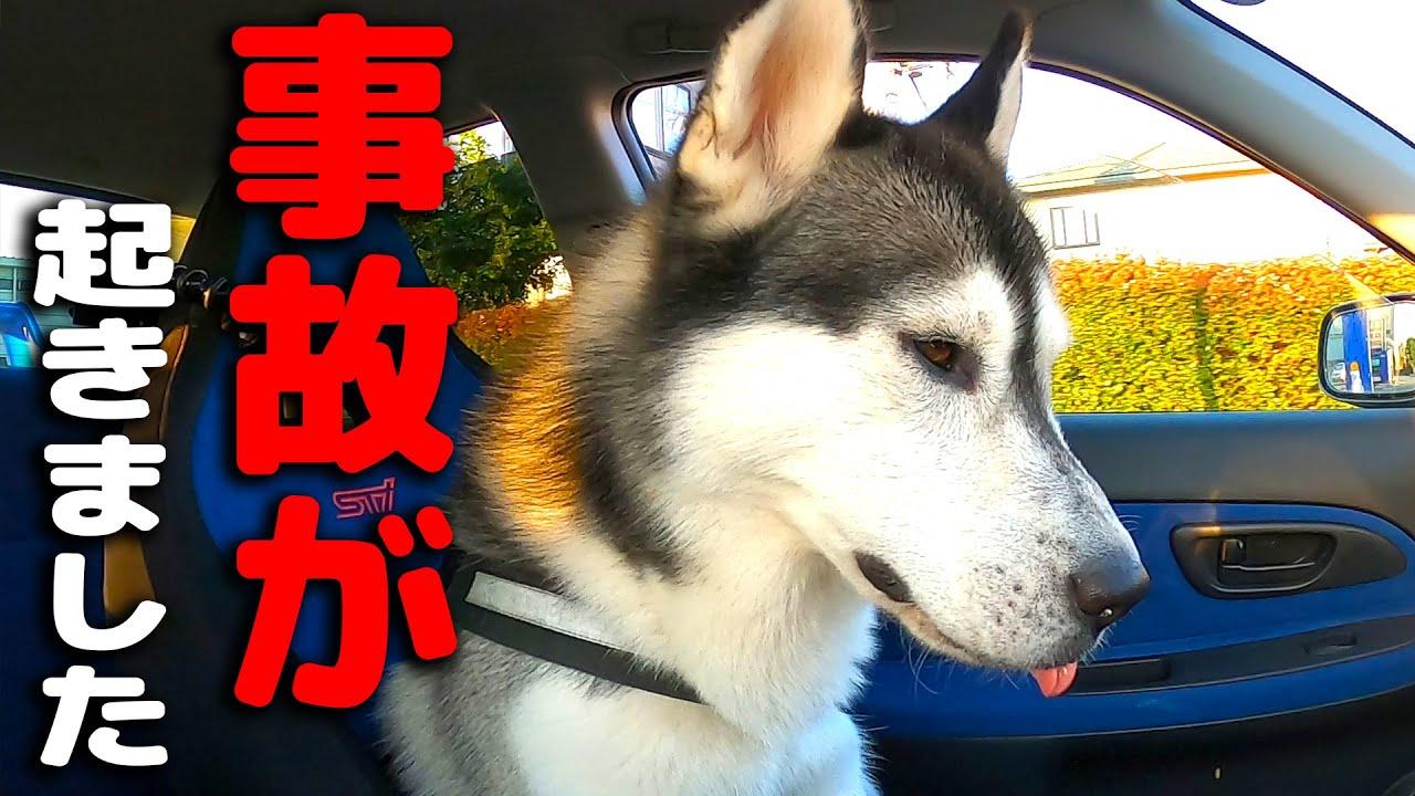 事故が起きました。即病院へ 虹の橋をわたるところでした。ハスキー犬と保護犬トイプードル