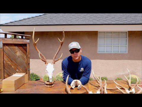 """HOW TO CLEAN AN AXIS DEER SKULL """"GRAPHIC"""""""