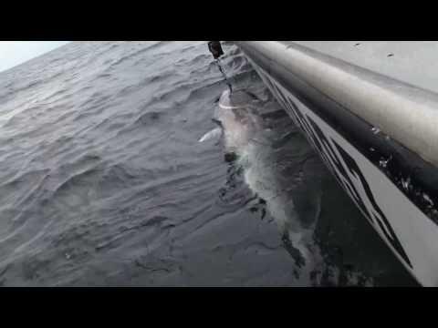 Giant Bluefin Tuna - 800lbs+ - Prince Edward Island, Canada