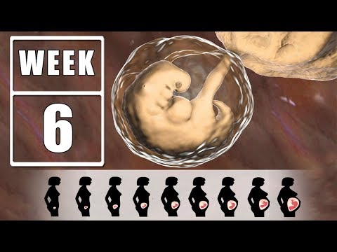 6 Weeks Pregnant - 6 Weeks Pregnant Symptoms, Advice And Guide For Fetal Development