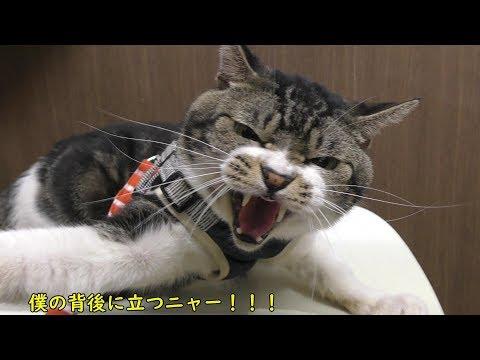 An angry cat in a veterinary hospital.It 's like Godzilla.
