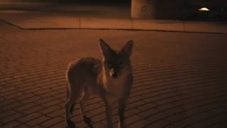 Seeing a wild coyote close up at night