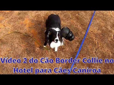 Vídeo 2 Do Cão Border Collie no Hotel para Cães Caniroa