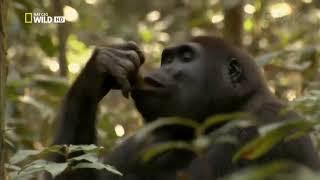 Дикая природа Мир животных Африки Гориллы Документальный Фильм Nat Geo WILD