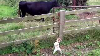 Frank The French Bulldog Meets Cows
