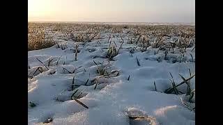 Подкормка пшеницы Мерзло-талым способом. Сорт Немка. Агро-канал