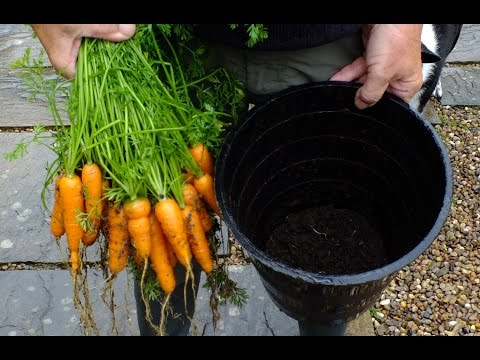 HGV How to grow Organic Carrots in buckets , '1 week, 2 week, & 4 week comparison start to finish.