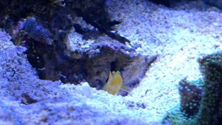 Yellow Watchman Goby And Tiger Pistol Shrimp Duo!!