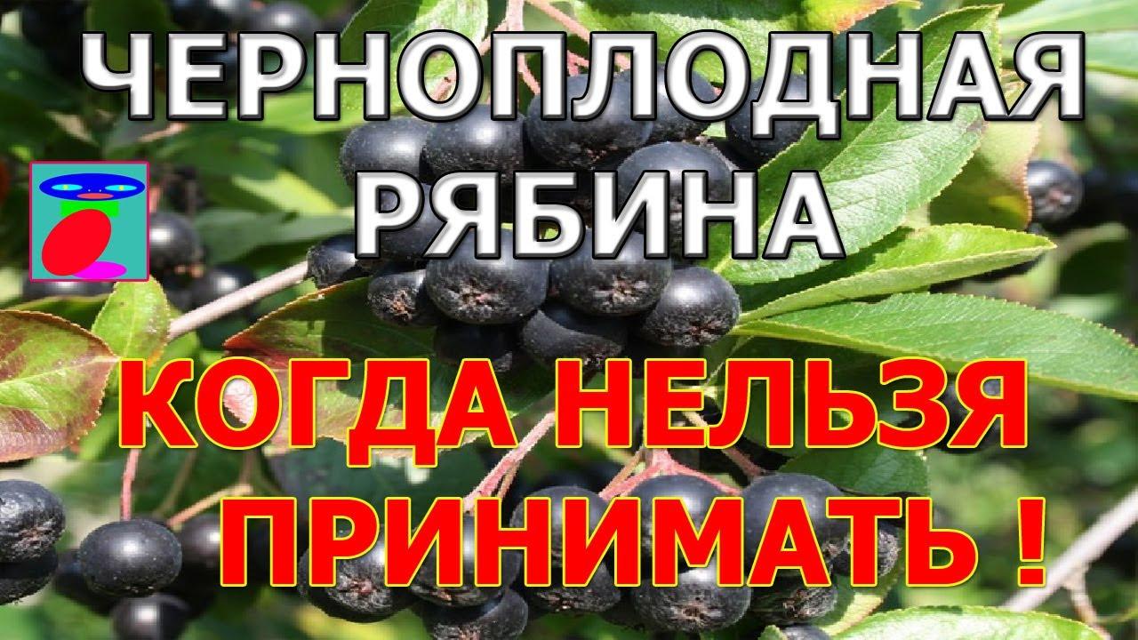 Черноплодная рябина польза и вред. Полезные свойства и противопоказания.