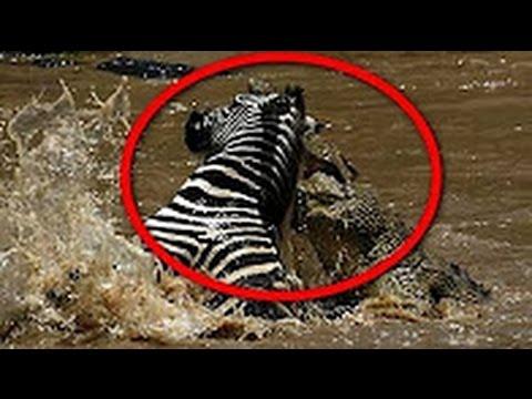 Cá sấu tấn công ngựa vằn và trâu rừng | Góc Động Vật