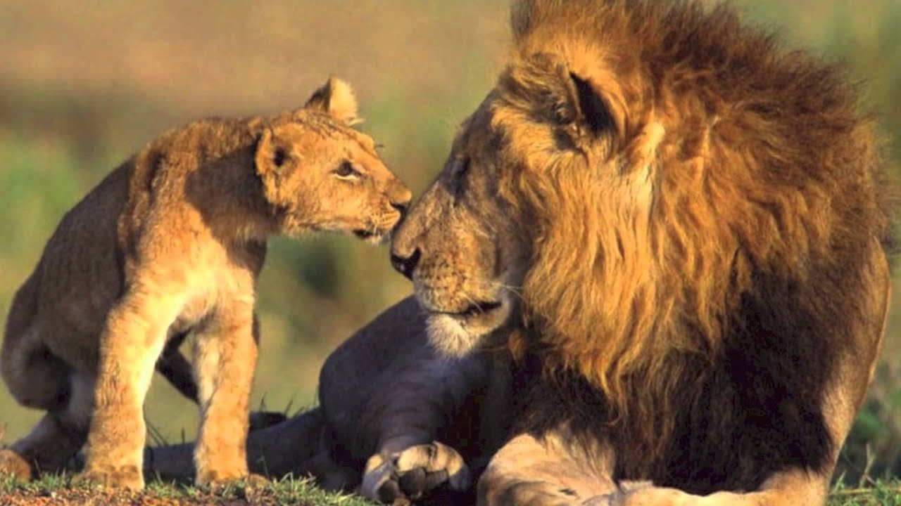 tribute to cecil the lion hd - youtube