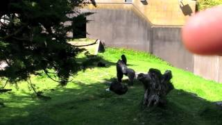 Gorilla Throws Poop SF Zoo