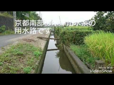 ミナミヌマエビ採集 5 木津川水系水路編