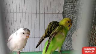 HOW TO BUY HEALTHY BUDGIE PARROT IN URDU