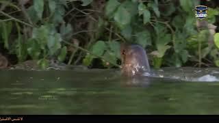 Речные выдры атакуют крокодила, защищая детенышей.