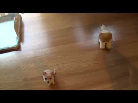 Cute Chihuahua Puppy Does Tricks