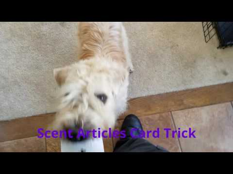 Wheaten Terrier Cianán AKC Trick Dog Performer
