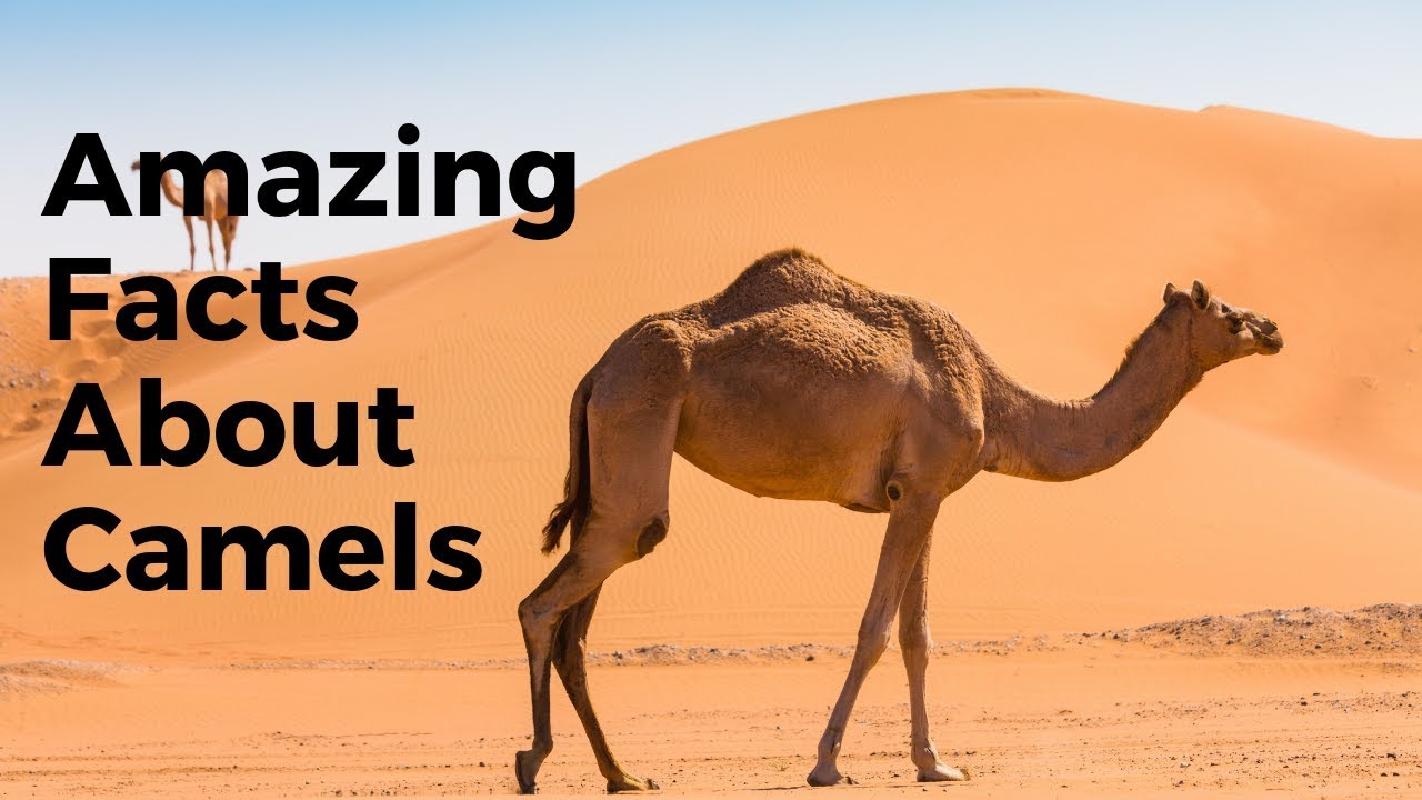 Download Top 30 Amazing Facts About Camels - Interesting Facts About Camels