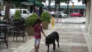 Watch How This Dog Down/stays At Starbucks When Left Alone!