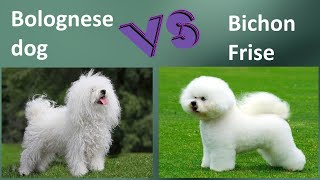 Bolognese dog VS Bichon Frise  Breed Comparison  Bichon Frise and Bolognese dog Differences